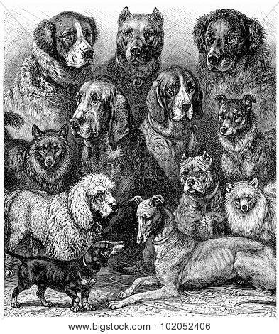 Various dogs, vintage engraved illustration. La Vie dans la nature, 1890.