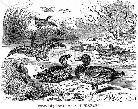 Wild ducks, vintage engraved illustration. From La Vie dans la nature, 1890.