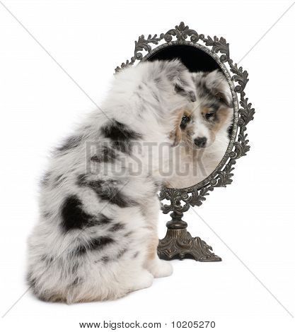 Blue Merle Australian Shepherd Puppy, 10 Weeks Old, Looking At Reflection On Mirror In Front Of Whit