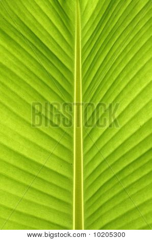 Banana leaves. Bright green lines show clear The balance of nature rarely seen. And a popular one as