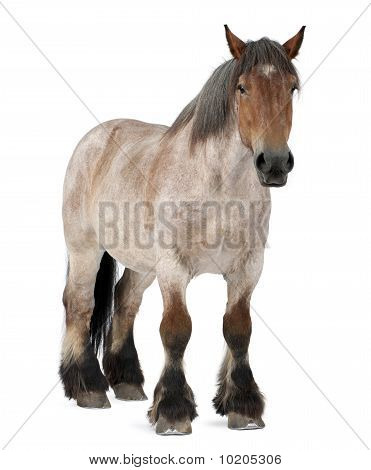 Belgian Horse, Belgian Heavy Horse, Brabancon, A Draft Horse Breed, Standing In Front Of White Backg