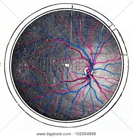 Retina of the right eye, vintage engraved illustration.