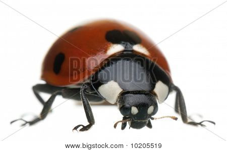 Seven-spot Ladybird Or Ladybug, Coccinella Septempunctata, In Front Of White Background