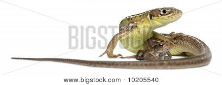 Wall Lizard, Podarcis Muralis, And Young Common Toad, Bufo Bufo, In Front Of White Background