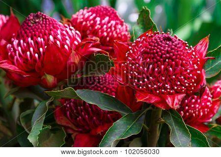 Madeira Flowers - Gembrook Telopea (Waratah Speciosissima