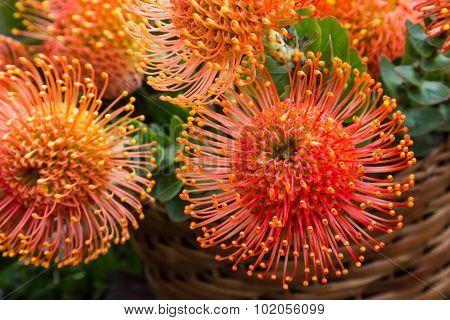 Madeira Flowers, Pincushions or Leucospermum condifolium