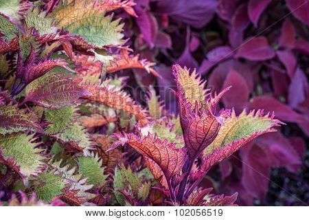 Henna coleus ornamental foliage with redhead coleus plant in background