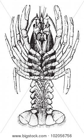 Crayfish, vintage engraved illustration. Natural History of Animals, 1880.