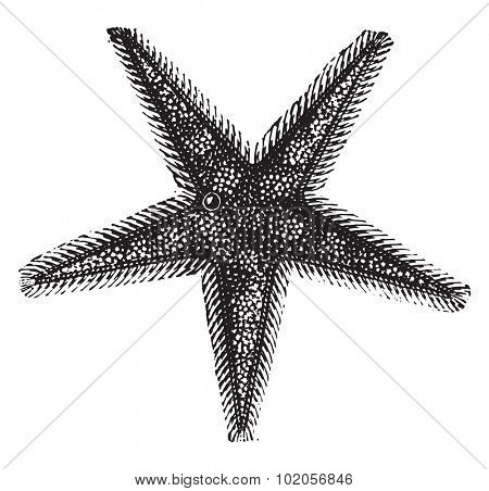 Starfish or sea stars, vintage engraved illustration. Natural History of Animals, 1880.