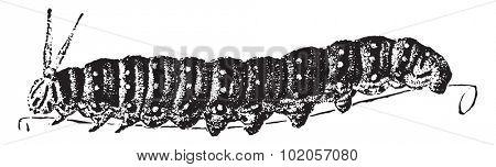 Caterpillar, vintage engraved illustration. Natural History of Animals, 1880.