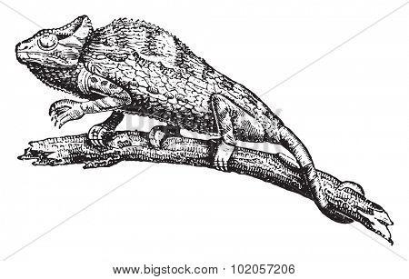 Chameleon or chamaeleon, vintage engraved illustration. Natural History of Animals, 1880.