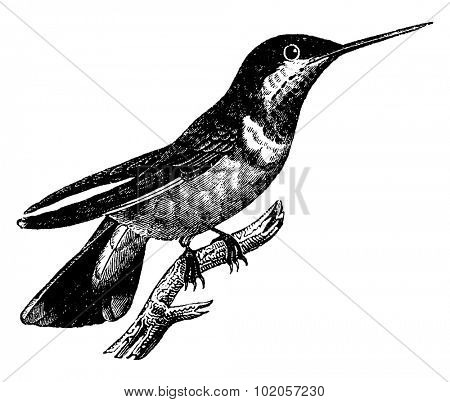 Hummingbird, vintage engraved illustration. Natural History of Animals, 1880.