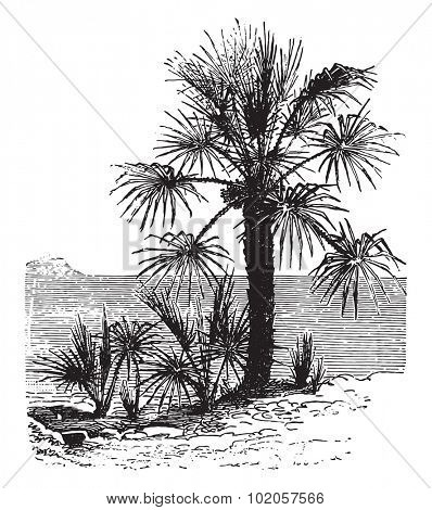 Chamaerops dwarf, vintage engraved illustration. La Vie dans la nature, 1890.