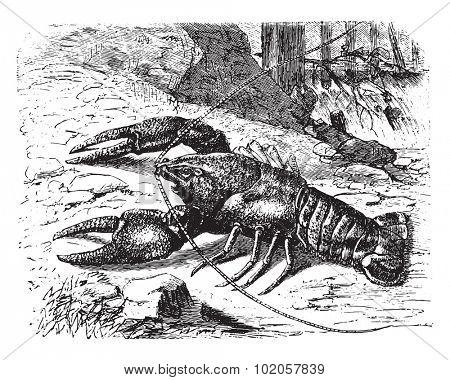 Crayfish, vintage engraved illustration. La Vie dans la nature, 1890.