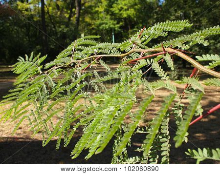 Selective Focus On The Young Acacia Branch With Leaves And Large Spikes