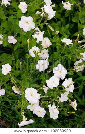 White Petunias On The Flower Bed. Close Up View Lots Of White Petunia Flowers.