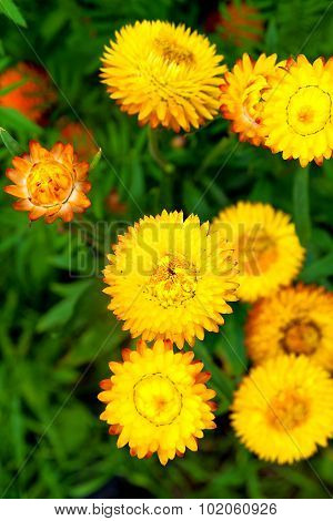 Helichrysum Or Strawflower In Outdoor Garden, Helichrysum Bracteatum.