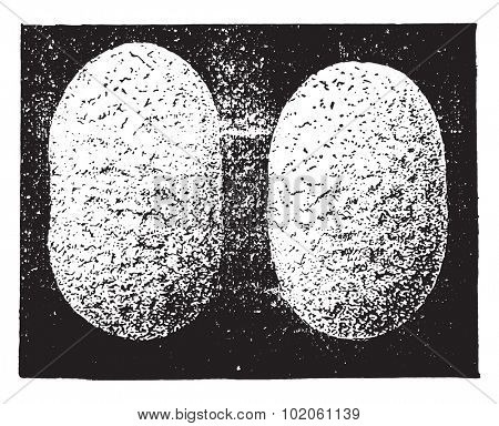 Cocoons, vintage engraved illustration. Industrial encyclopedia E.-O. Lami - 1875.