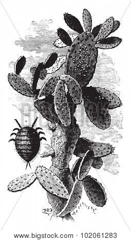 Nopal cactus charge mealybugs, vintage engraved illustration. Industrial encyclopedia E.-O. Lami - 1875.