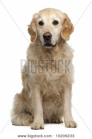 Golden Retriever, 6 Years Old, Sitting In Front Of White Background