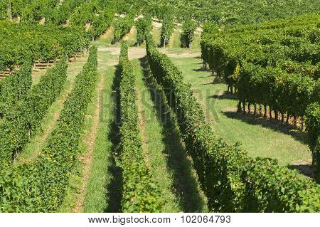 Vineyards In Oltrepo Pavese (italy)