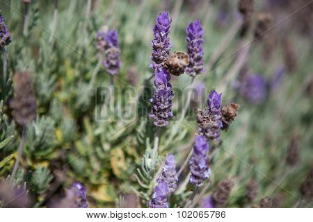 Close up of lavender field in the summer