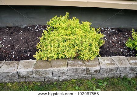 Golden Japanese Barberry