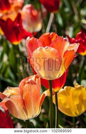 Variegated Orange and Red Tulip