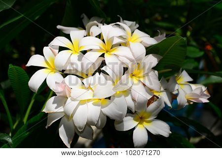 White Yellow Plumeria Flower