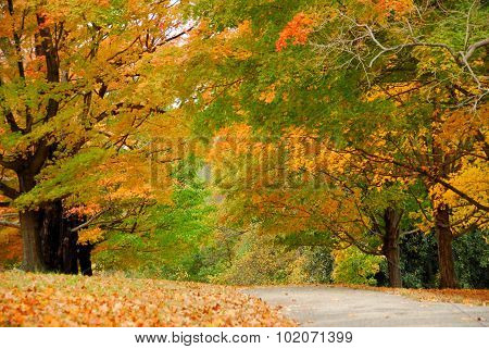 Orange Yellow Maple Tree Fall Foliage