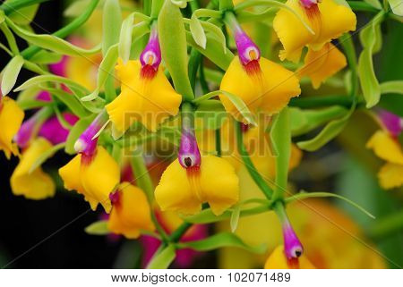 Pink Yellow Epicattleya Rene Marques Flame Thrower Orchid Flower