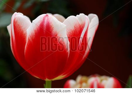 Red White Tulip Flower