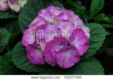 Purple Hydrangea Hortensia Flower