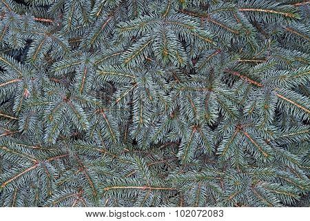 Many Twigs Of Silver Spruce As Nature Background.