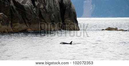 Killer Whale North Pacific Ocean Sea Life Marine Mammal