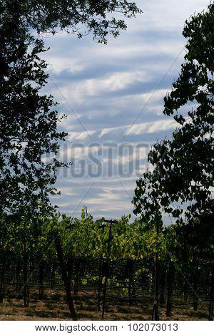 Vines To Sky