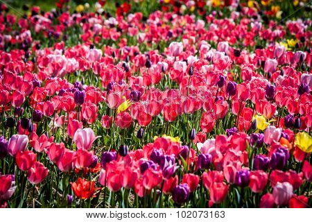 Field of Mostly Pink and Purple Tulips