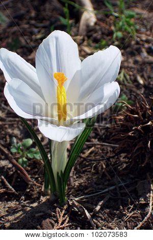 White Spring Crocus Blossom