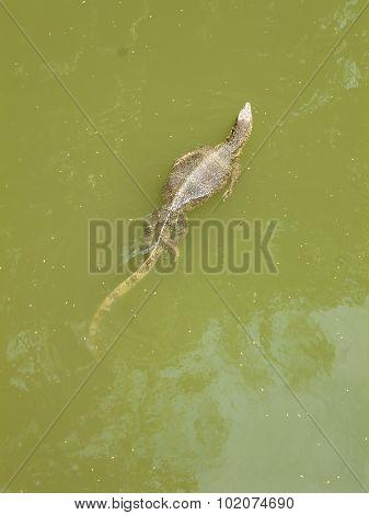 Varanus salvator swimming in green lake