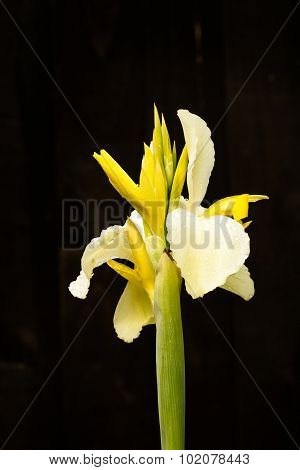 Yellow Canna Flower In Bloom