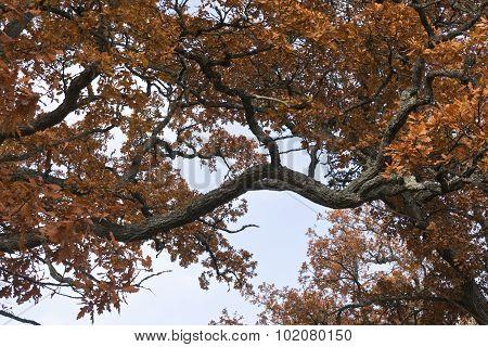 Golden, orange, brown oak leaves.