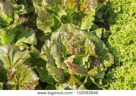 Leaf Fresh Lettuce Organic Salad