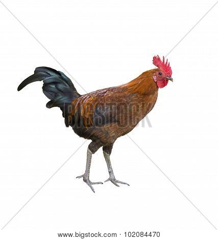 Colorful Rooster. Isolated.