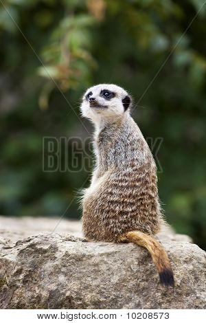 Meerkat looking over his shoulder.