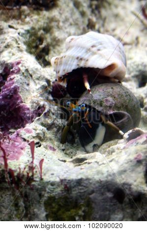 Hermit Crabs Fight