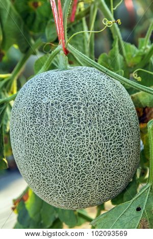 Fresh Melon or Cantaloupe fruit on tree
