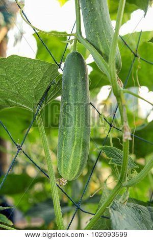 Cucumber grow on vine.