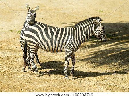 Two Zebras In Zoo In Germany