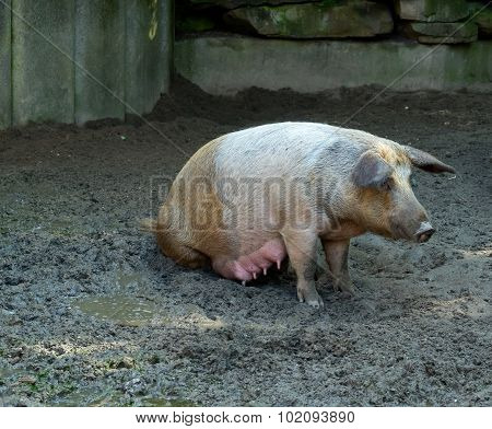 The Pig On Liquid Dirty Ground