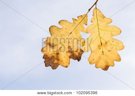 Oak Leaves Stagger From Wind On Sky Background.
